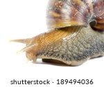 Giant African Snails Isolated...