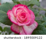 Fresh Pink Rose Flower With...