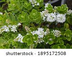 Blooming Plant Hebe White Lady.