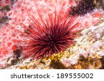 a lone red sea urchin amongst a ... | Shutterstock . vector #189555002