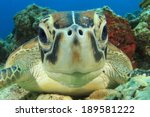 cute sea turtle face | Shutterstock . vector #189581222
