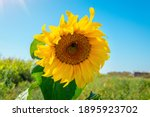 Beautiful Sunflower In The...