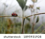 Ladybugs With Red And Black...
