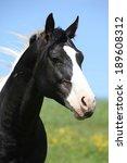 Amazing Paint Horse Stallion...