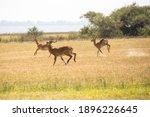 The Ugandan Kob Antelope  Kobus ...