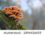 Mushroom Velvet Shank ...