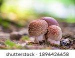 Group Of Mushrooms Amanita...