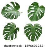 monstera leaf  tropical... | Shutterstock . vector #1896601252