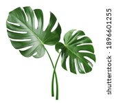 monstera leaf  tropical... | Shutterstock . vector #1896601255