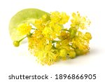 Linden Yellow Blossom Of Tilia...