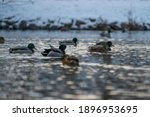 Wild Ducks Floating On The Pond ...