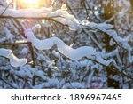 Winter Snowy Pine Tree...