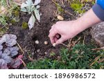 A Woman's Hand. Planting Bulbs...