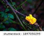 Close Up Of Yellow Trembler...