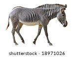 Isolated Of Profile Grevy Zebr...