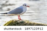 Black Headed Gull Standing On...