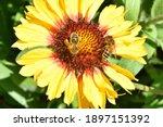 Honey Bee Pollinates Wild...