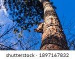A Small Squirrel Climbs A Tree