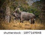 Beautiful Male Nyala Antelope...
