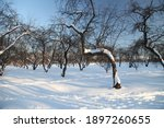Apple Orchard In Winter. Winter ...