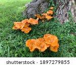 Orange Jack O Lantern Fungus...