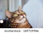 Egyptian Mau Cat   Amazed