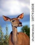 The Greater Kudu  Tragelaphus...