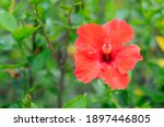 A Vibrant  Blooming Red Hibiscus