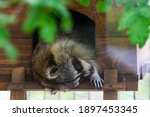 Raccoon Resting And Sleeping In ...