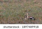 Indian Spot Billed Duck  Anas...
