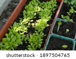 young sprouts of lettuce and...   Shutterstock . vector #1897504765