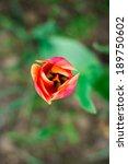 one pink red tulip in the garden | Shutterstock . vector #189750602
