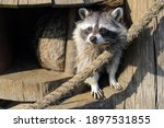 The Raccoon Looks Out From His...