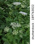 Small photo of Aegopodium podagraria, Ground Elder