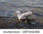 Seagull Swims In The Sea