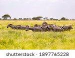 A Herd Of Zebras Standing On...