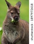 Red Necked Wallaby Or Bennett's ...
