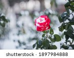 Red Rose Close Up In The Snow....