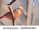 Beautiful Orange Red Female...