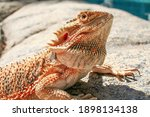 Bearded Dragon Basking In The...