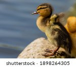 Duckling Duck Mallard Young...