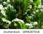 Closeup Of A Frosty Fern