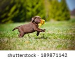 Stock photo labrador retriever puppy playing outside 189871142