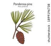 ponderosa pine or western... | Shutterstock .eps vector #1899196738
