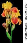 Iris Plant With Three Buds Of...
