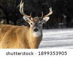 Male Deer In...