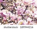 Beautiful Magnolia Flower In...