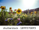 Flower Field With Sunflowers...