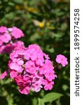 Small photo of Pink phlox. Purple flowers phlox paniculata. Flowering branch of purple phlox in the garden on a sunny day. Copy space. Soft blurred selective focus.