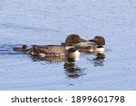 A Loon Family Swimming On The...